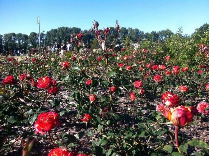 Черкаські комунальники нарікають на містян за те, що ті витоптують квітники, фото-1